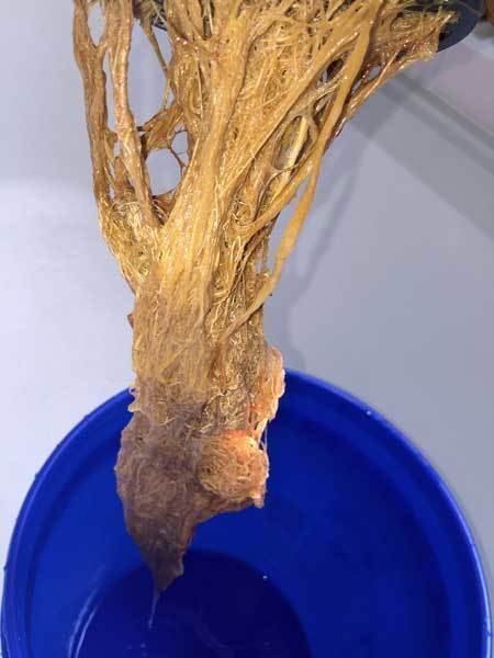 root rot in cannabis