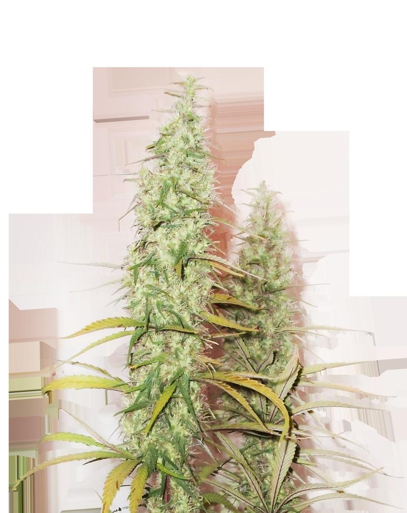 GR420's New Promos!! Coming very soon - GrowRoom420 Cannabis